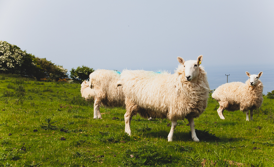 Climate change: should UK Sheep numbers increase or decrease?